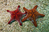 Pair of Panamic Cushion Starfish (Pentaceraster cumingii), La Paz, Baja California Sur, Mexico