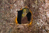 Murène châtaigne (Gymnothorax castaneus) dans l'épave du Fang Wing, La Paz, Baja California Sur, Mexique