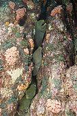 Murène châtaigne (Gymnothorax castaneus), La Paz, Baja California Sur, Mexique