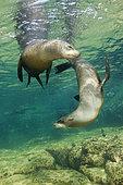California Sea Lion (Zalophus californianus), La Paz, Baja California Sur, Mexico
