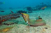 Murène châtaigne (Gymnothorax castaneus) pris à l'hameçon, La Paz, Baja California Sur, Mexique