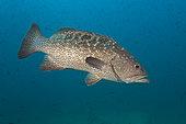 Leopard grouper (Mycteroperca rosacea), Baja California Sur, Mexico