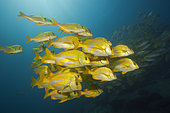 Shoal of Panamic Porkfish (Anisotremus taeniatus), Cabo Pulmo, Baja California Sur, Mexico
