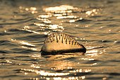 Portuguese Man O' War (Physalia physalis) floating in the ocean at sunset, Galveston, Texas, USA, North America