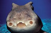 Face of Port Jackson Shark (Heterodontus portjacksoni) at night, South Australia, Great Australian Bight.