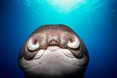 Close-up of face of Port Jackson Shark (Heterodontus portusjacksoni). Eastern Australia, Indian Ocean.