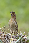 Common Quail (Coturnix coturnix) male in spring, Bay of Mont St-Michel, Normandy, France