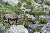 Spanish ibex (Capra pyrenaica) male crossing a stream on the rocks, Sierra de Gredos, Spain