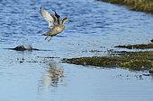Canard pilet (Anas acuta) femelle s'envolant, Estuaire de la Loire, France
