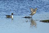 Canard pilet (Anas acuta) couple nageant sur l'eau, femelle s'envolant, Estuaire de la Loire, France