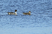 Pintail (Anas acuta) couple swimming on the water in Sougeal swamp, Brittany, France