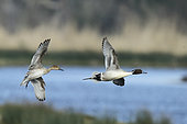 Pintail (Anas acuta) couple in flight, marsh of Follie, Brittany, France