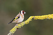 European Goldfinch (Carduelis carduelis) on a branch, Europe