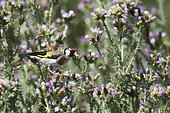 European Goldfinch (Carduelis carduelis) feeding on a thistle in spring, Europe