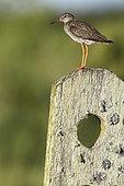 Common Redshank (Tringa totanus) on a fence, Marais poitevin, France