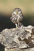 Little Owl (Athene noctua) with prey in talons, Europe