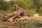 Common Kestrel (Falco tinnunculus) female on the ground, Europe