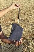 Lesser Kestrel (Falco naumanni) weighing of an individual, France