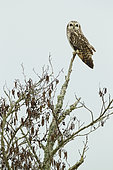 Short-eared owl (Asio flammeus) surveying his territory from the top of a branch in winter, Europe