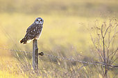 Short-eared owl (Asio flammeus) on a stake, Marais Audubon, Coueron, Loire Atlantique, France