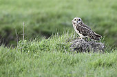 Short-eared owl (Asio flammeus) on ground, Europe