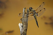 Four-spotted skimmer (Libellula quadrimaculata) on twig, Europe