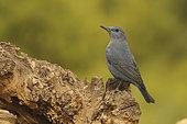 Blue Rock Thrush (Monticola solitarius) on a stump, Europe