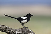 Black-billed Magpie (Pica pica) on a branch, Spain