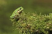 Tree frog (Hyla arborea) on moss, Europe
