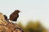 Black Wheatear (Oenanthe leucura) on a stump, Spain