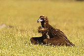 Monk's vulture (Aegypius monachus) protecting its food from its congeners, Spain