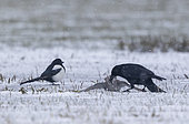 Carrion crow (Corvus corone) killing a knot (Calidris canutus) in the snow, England