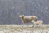 Sheep (Ovis aries) walking amongst falling snow, England