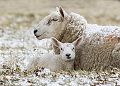 Sheep (Ovis aries) laying in the snow, England