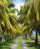 Coconut row, Basse Terre landscape, Guadeloupe, French West Indies