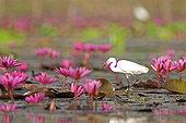 Little egret (Egretta garzetta) in pink water lilies, Thailand