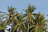 Coconut trees (Cocos nucifera), Thailand