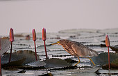 Chinese pond-heron (Ardeola bacchus) Adult in pink water lilies, Thailand