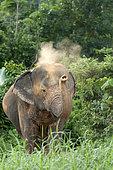 Asian Elephant (Elephas maximus) Bath of dust, Thailand