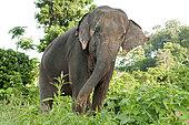 Asian Elephant (Elephas maximus), Thailand