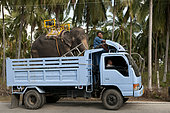 Transport of Asian elephant (Elephas maximus) by truck - Ko samui - Thailand