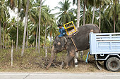 Transport of Asian elephant (Elephas maximus) by truck, Unlaoding, Ko samui - Thailand