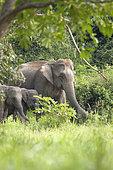 Asian Elephant (Elephas maximus) Family, Thailand
