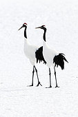 Japanese crane, Red-crowned crane (Grus japonensis) couple on snow, Japan