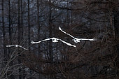 Japanese crane, Red-crowned crane (Grus japonensis) couple flying away, Japan