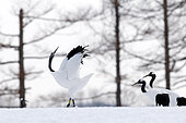 Japanese crane, Red-crowned crane (Grus japonensis) dancing on snow, Japan