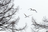 Japanese crane, Red-crowned crane (Grus japonensis) group flying away, Japan