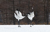 Japanese crane, Red-crowned crane (Grus japonensis) couple dancing and singing on snow, Japan