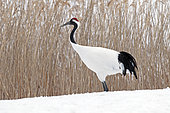 Japanese crane, Red-crowned crane (Grus japonensis) on snow, Japan