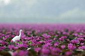 Intermediate Egret (Mesophoyx intermedia) in pink water lilies, Thailand